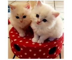 Wunderschöne Ragdoll-Kätzchen