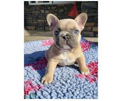 Bildschöne Franz. Bulldoggen in verschiedenen Farben