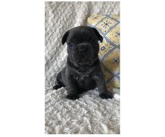 Französische Bulldogge Welpen Zum Verkauf angeboten