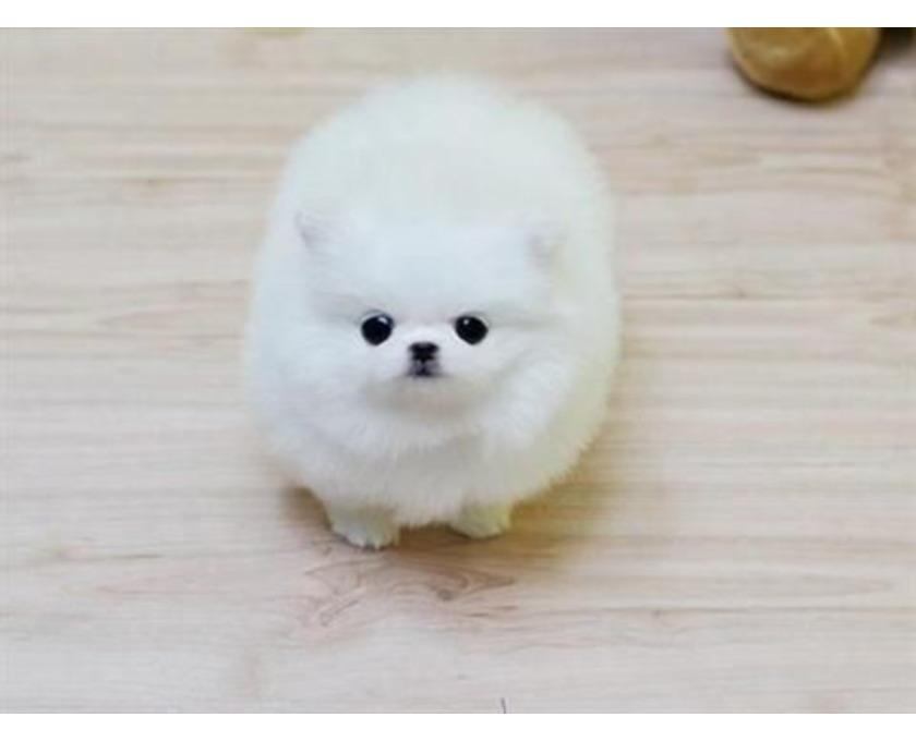 Reinrassige Pomeranian Zwergspitz Boo Welpen - 2/2