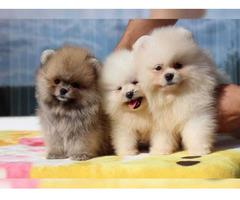 Pomeranian Zwergspitz Mini Welpen suchen liebevolle Familie