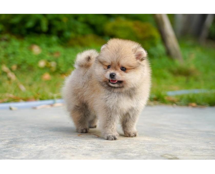 Zuckersüsse süße Pomeranian Zwergspitz Welpen suchen ein neu - 1/2