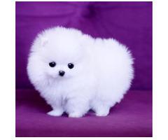 Wunderschöne Mini Pomeranian Zwergspitz Welpen - Bild 1/2