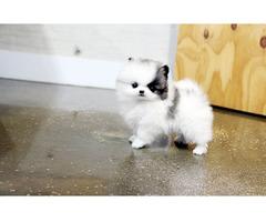 Wunderschöne Mini Pomeranian Zwergspitz Welpen - Bild 2/2