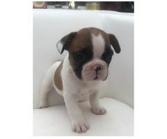 Französische Bulldogge Welpen zu verkaufen