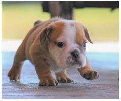 Bulldog Weiblich Shella