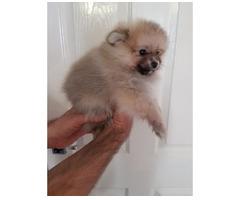 Teacup Pomeranian Puppies Zum Verkauf angeboten