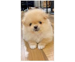 Pomeranian Mini-Spitz