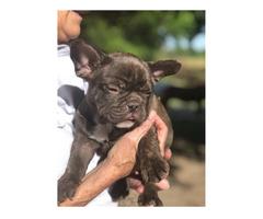 Hervorragende französische Bulldoggen