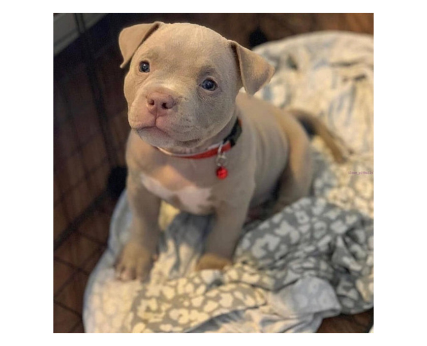 Prächtiger Pitbull zur Adoption - 1/1