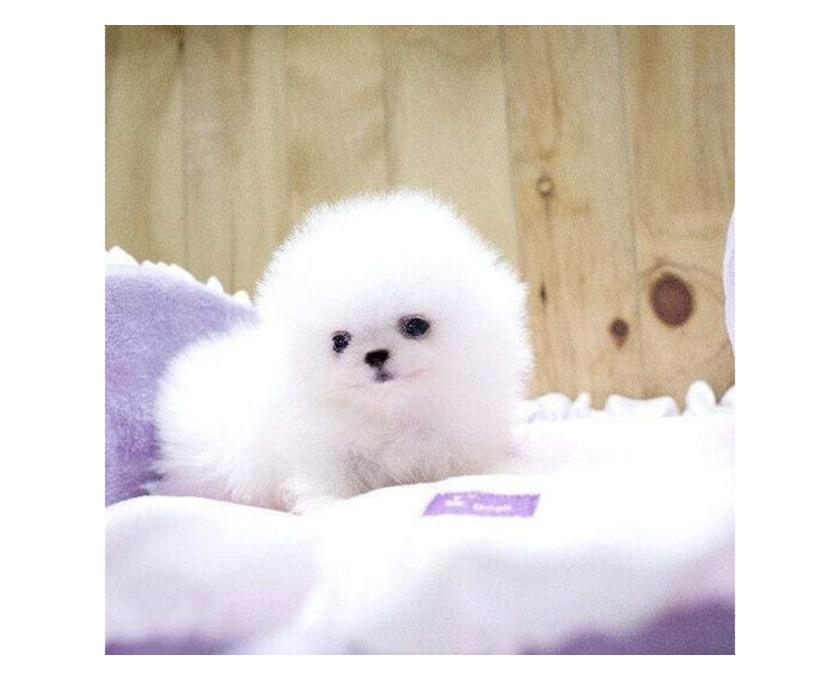 Pomeranian Welpe - 1/1
