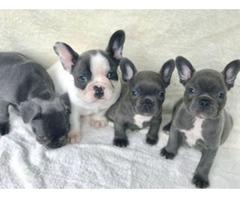 Schöne blau-weiß gescheckte französische Bulldoggenwelpen