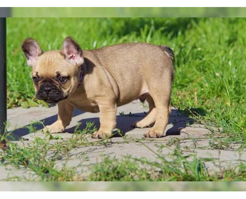 Französische Bulldogg Welpen - 2/3