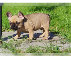 Französische Bulldogg Welpen - Bild 2/3