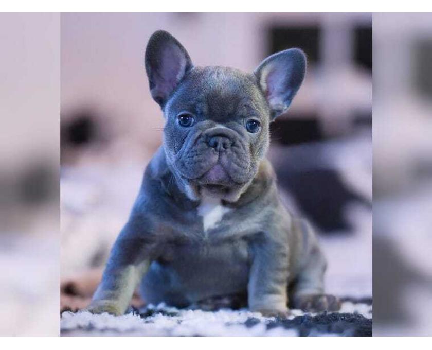 Traumhafte französische Bulldogge Welpen - 2/2