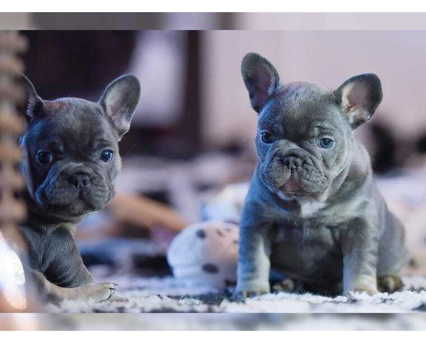 Sehr schöne typvolle reinrassige Französische Bulldogge Hund - 1/2