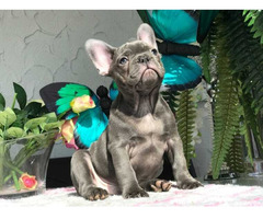 Französiche Bulldoggen Welpen Ahnentafel