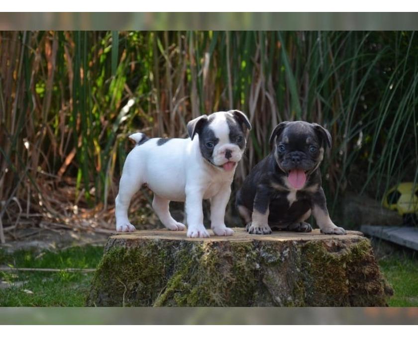 Französische Bulldoggen Welpen suchen ein schönes Zuhause - 1/1
