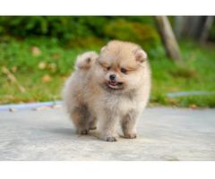 Zwergspitz / Pomeranian Welpen mit Papieren / Ahnentafel