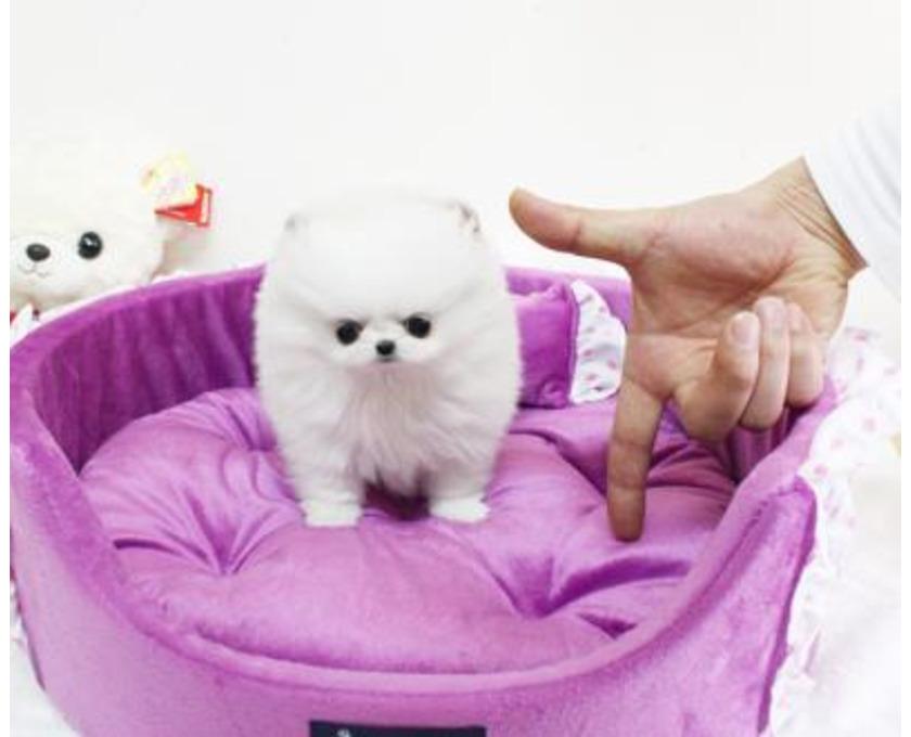Super süße Pomeranian Zwergspitz Welpen suchen ein neues Zuh - 1/2