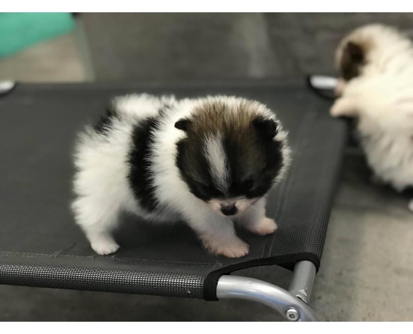 Super süße Pomeranian Zwergspitz Welpen suchen ein neues Zuh - 2/2