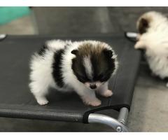 Super süße Pomeranian Zwergspitz Welpen suchen ein neues Zuh