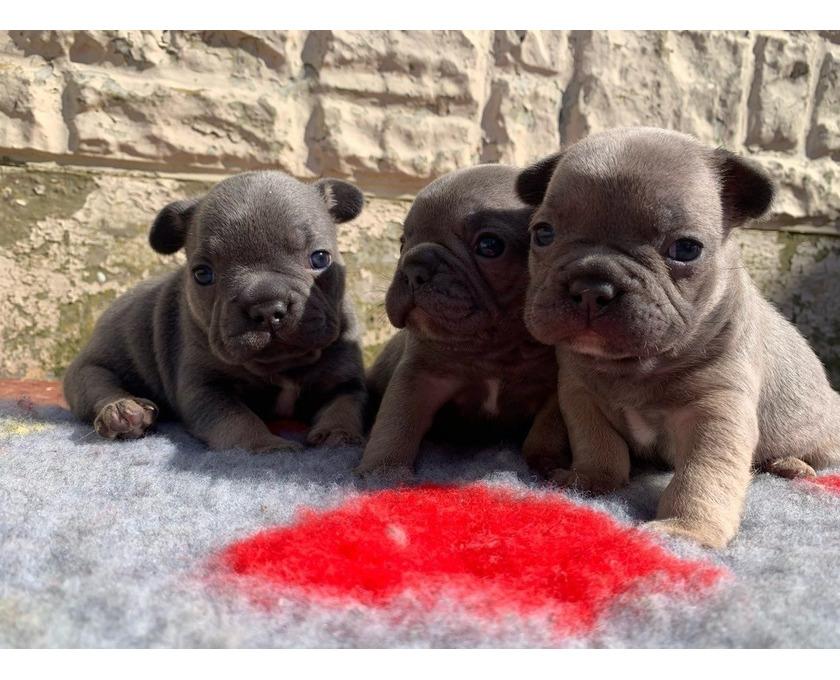 Französische Bulldogge Welpen whatsapp 015211447907, - 2/3