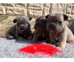 Französische Bulldogge Welpen whatsapp 015211447907,