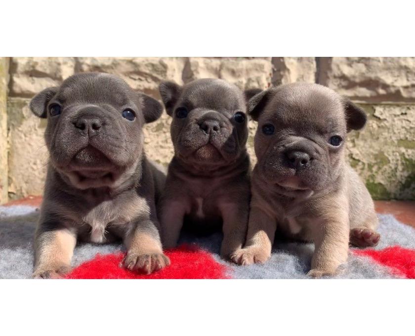 Französische Bulldogge Welpen whatsapp 015211447907, - 3/3