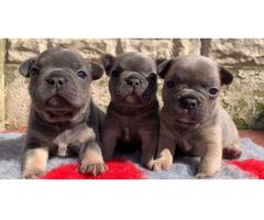 Französische Bulldogge Welpen whatsapp 015211447907, - Bild 3/3
