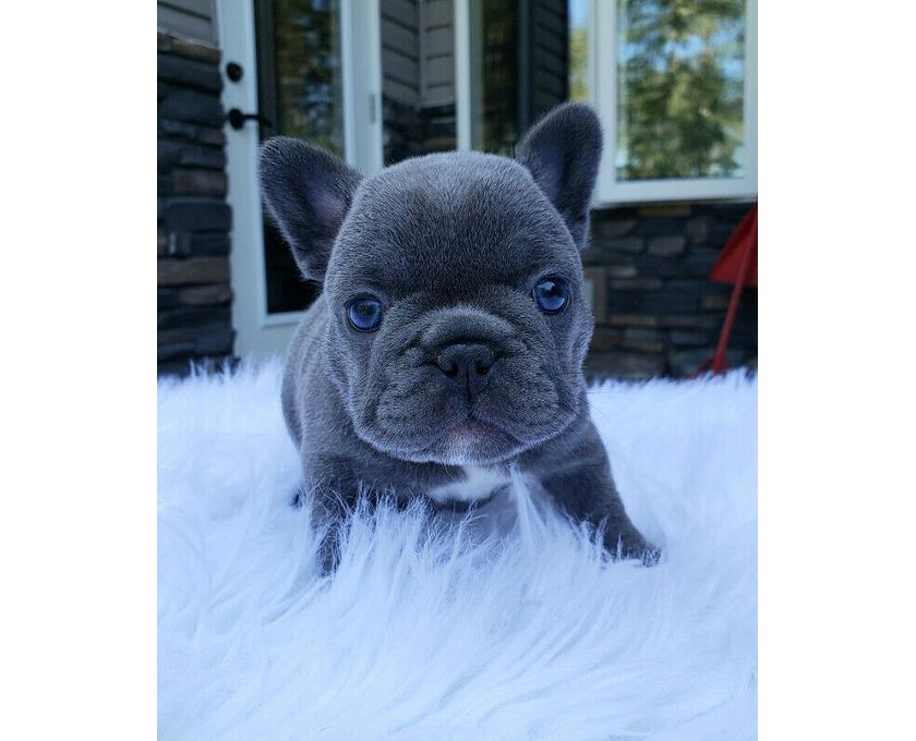 Französische Bulldogge Welpen Blue /Blau - 1/1