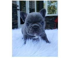 Französische Bulldogge Welpen Blue /Blau