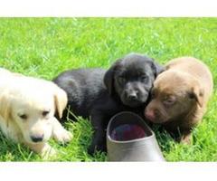 Abgabebereit! Labrador Welpen mit Papieren
