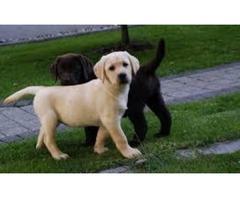 Wunderschöne Labradorwelpen-silber und braun!