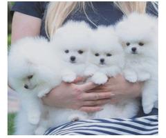 Kleine Pomeranien-Zwergspitz Babys