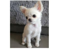 Kostenlose Chihuahua Welpen