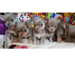super süße Chihuahua Welpen