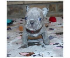 Wunderschöne Französische Bulldoggen Welpen.