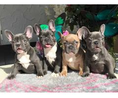 Typvolle französische Bulldoggen Welpen in blau
