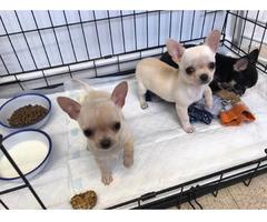 Chihuahua Welpen suchen ein liebevolles Zuhaus.