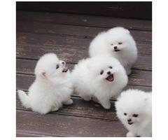 Pomeranian Mini-Spitz (männlich und weib
