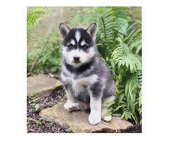 Siberian Husky Welpen suchen neues Zuhau