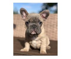 Schöne Französische Bulldoggen Welpen