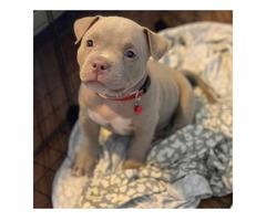 Pit-Bull-Terrier-Welpen männlich und weiblich