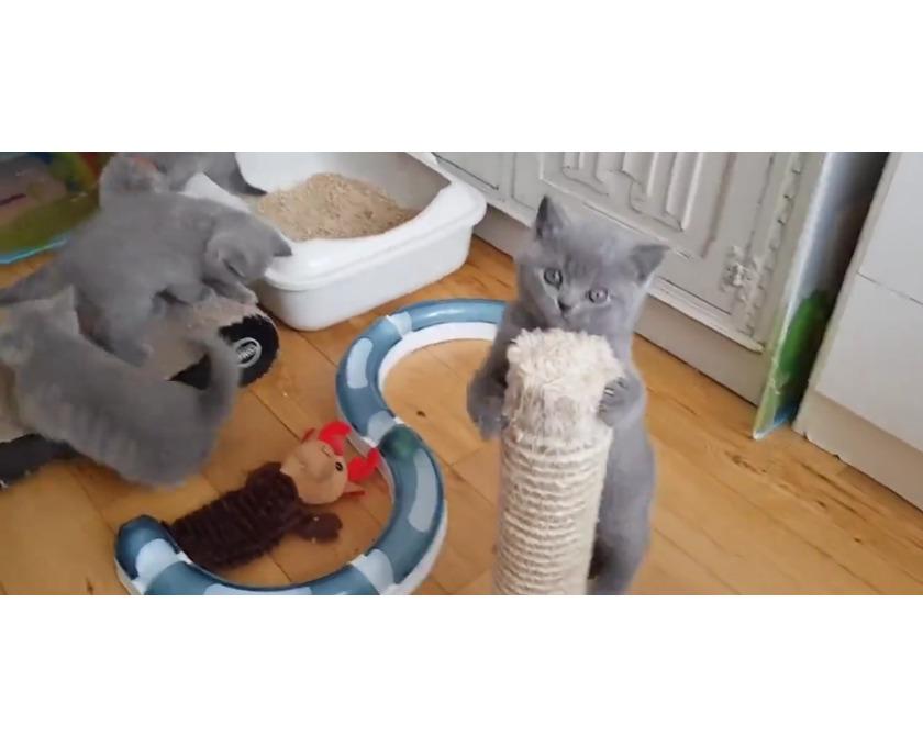 Britische Kurzhaar-Kätzchen zum Verkauf. - 1/2