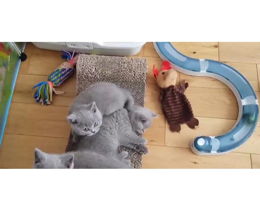 Britische Kurzhaar-Kätzchen zum Verkauf. - 2/2