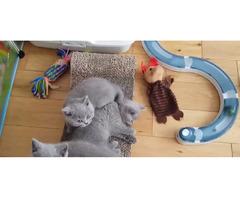 Britische Kurzhaar-Kätzchen zum Verkauf.