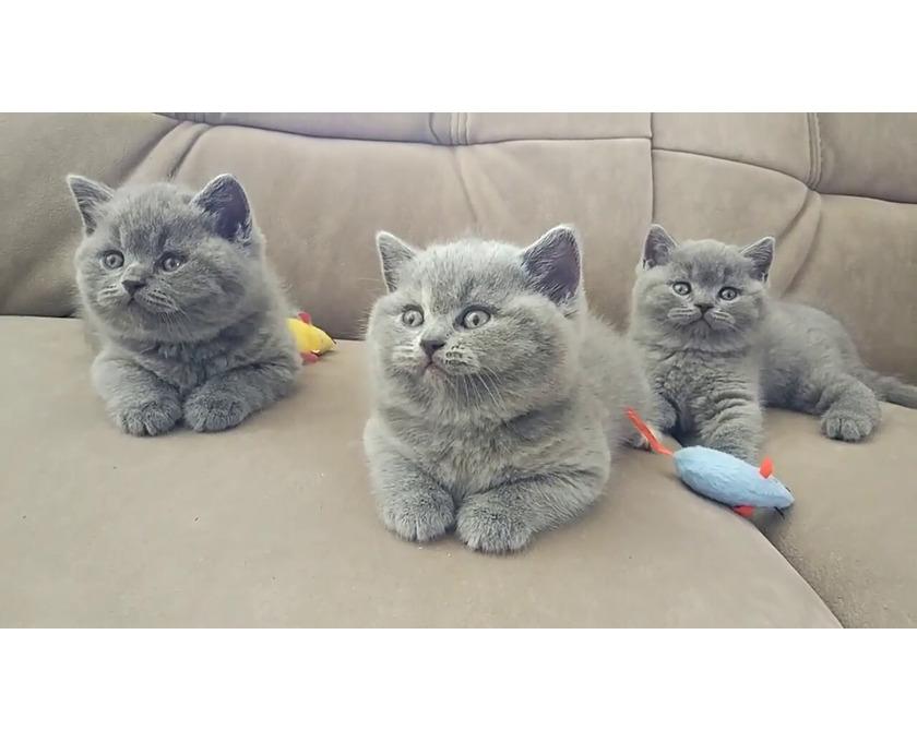 Nette britische kurzhaarige graue Kätzchen zur Adopti - 1/1