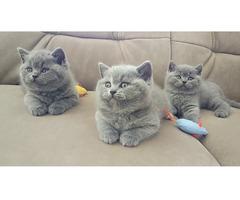 Nette britische kurzhaarige graue Kätzchen zur Adopti