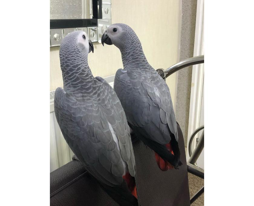 Nette sprechende graue Papageien zum Verkauf. - 1/1